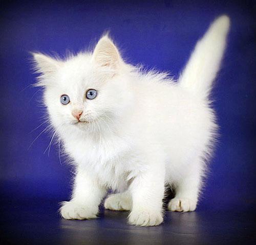 видео белая сибирская кошка
