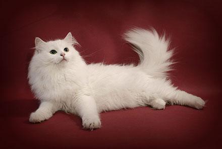 Сибирская кошка алисинья маркус