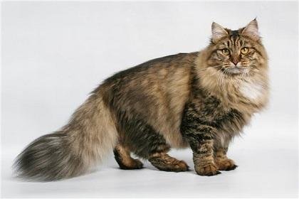 фото кошка сибирской породы